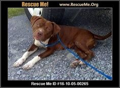 UPDATE: 11/18/2016 This dog is still listed as being available for adoption. ― Tennessee Dog Rescue ― ADOPTIONS ― RescueMe.Org Puppy pit bull mix may be euthanized within the next day or two. She is at the Green County Humane Soc. (not a rescue) in Greeneville, TN.