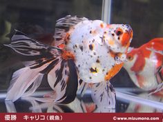 Ryukin Goldfish, Comet Goldfish, Carp, Pond, Water, Animals, Gripe Water, Water Pond, Animales