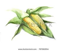 Two cobs of corn with leaves. Hand drawn watercolor illustration of isolated on a white background.