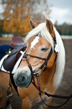Haflinger - best breed of horse out there