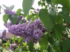 When lilacs bloom in Southern Alberta, it's usually getting close to the May long weekend. That also means it's time to get the garden, shrubs and patio plants going. Lilac Tree, Lilac Flowers, Beautiful Flowers, Patio Plants, Outdoor Plants, Garden Shrubs, Flowers Canada, Lilac Plant, Syringa Vulgaris