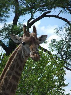 Kruger National Park, South Africa.  Giraffe