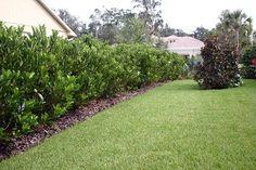 haie de jardin persistante en Viburnum