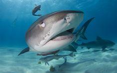 تحميل خلفيات القرش, المفترس, العالم تحت الماء, المحيط, القرش الأبيض, الماء, الأسماك
