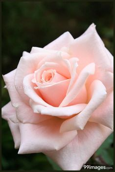 """Pink Rose by iKenC via Yvonne Brodkin ~~ Reminds me of the prayer: """"Saint Therese, .please pick me a Rose from the heavenly garden and send it to me with a message of love. All Flowers, Pretty Flowers, Rose Reference, Foto Rose, Ronsard Rose, Hybrid Tea Roses, Flower Wallpaper, Flower Photos, Beautiful Roses"""