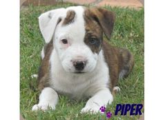 Piper breed - british bulldog x bull arab age - 8 weeks sex - female hey guys. I'm piper, yep with a cute squidgy face and build like my mum the b. British Bulldog, Looking For Love, Pitbulls, Corgi, Angel, Cute, Pictures, Animals, Photos