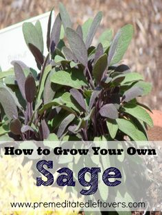 How to Grow Sage in Your garden or a container, tips include how to plant sage seedlings, how to plant sage in a container, how to care for sage plants, and how to harvest sage.