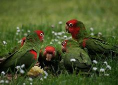 Red-masked Parakeets.