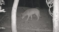 """A pair of elusive and endangered gray wolves have been spotted roaming Lassen County in rural northeastern California, the latest sign of a possible comeback for the animals in the state that has stirred excitement and worry.  """"It is exciting that we have a species coming back from the brink, but we also need to recognize that California today in 2016 is very different than it was 100 years ago,"""" said Karen Kovacs, a state fish and wildlife program manager who studies wolves.  After a…"""