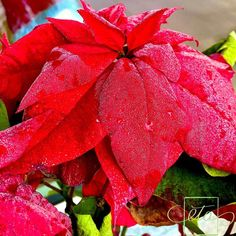 Poinsettia, Instagram Accounts, Rose, Flowers, Plants, Floral, Roses, Plant, Royal Icing Flowers