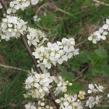Shared by blackthorn herb Chez Vanda, Belle Plante, Prunus, Edible Flowers, Permaculture, Herbalism, Berries, Nature, Diuretic