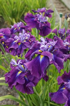 Japanese iris (purple) (2)