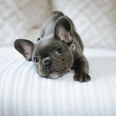 "Explore our web site for even more details on ""French bulldog"". It is an outstanding area to learn more. Cute French Bulldog, French Bulldog Puppies, Cute Dogs And Puppies, Pet Dogs, Dog Cat, I Love Dogs, French Bulldogs, Doggies, Cute Baby Animals"