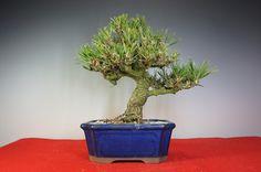 Bonsai Toriumi - Offers bonsai trees, pots and supplies. Online catalogue and sales. In Saitama, Japan