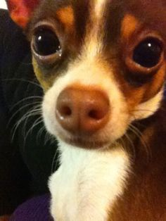 Nutella the Chihuahua