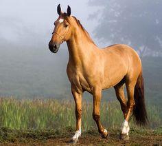 Meu namorado é apaixonado por esta raça, e eu como ótima e companheira namorada, também estou me apaixonando pela sua elegância, porte, resistência, obediência e muitas outras qualidades <3 Campolina Horse, Brazil