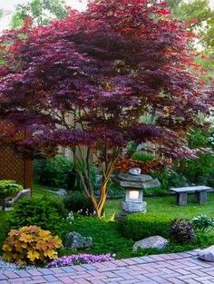 Bloodgood Japanese Maple Acer palmatum 'Bloodgood' (ideas for plantings beneath) japanese garden Bloodgood Japanese Maple Acer Palmatum, Small Front Yard Landscaping, Backyard Landscaping, Backyard Ideas, Garden Ideas, Trees For Front Yard, Luxury Landscaping, Inexpensive Landscaping, Landscaping Edging
