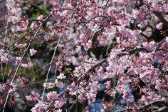 #cherry blossoms, #beautiful, #pink, #spring, #garden,