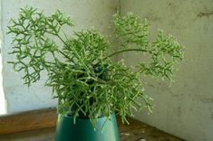 Rhipsalis cereuscula (rice or coral cactus). succulent. light to medium shade. dry between waterings.