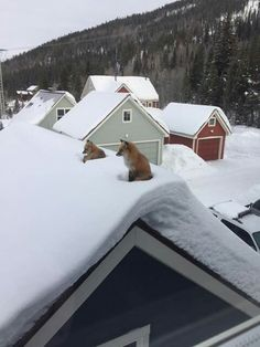 Rooftop foxes