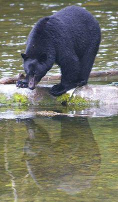 Bear on log in Haida Gwaii
