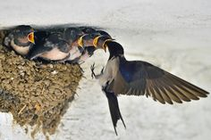 A barn swallow returns to the nest with food for the nestlings. (by Young Sung Bae on 500px)