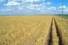 Wheat growing near Dalby, Queensland