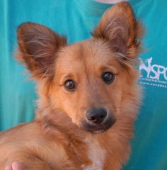Tobias is an adorable baby boy debuting for adoption today at Nevada SPCA (www.nevadaspca.org).  He is about 3-4 months of age and now neutered.  Most of us think he is a Corgi mix, while others see Sheltie and Toy breeds in him, but the consensus is that he is likely to grow to medium size.  Tobias is great with other dogs and needs kind guidance and a stable lifestyle routine.  A Las Vegas man found him abandoned on his porch with no sign of responsible ownership.