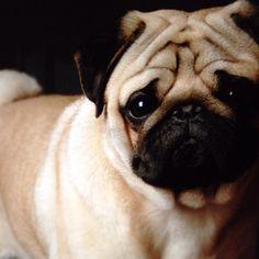 Wrinkly pug
