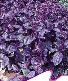 Original Pack 50 Purple Perilla Seeds Organic