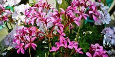 jak vytvořit z převislých pelargonií vodopád květů