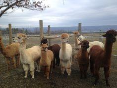 Alpaca Farm - Trumansburg NY