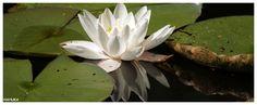 Hoenderloo, Nationaal Park De Hoge Veluwe, waterlelie