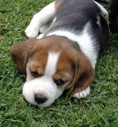 Adorable Beagle pupster