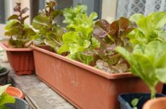 When deciding which plants to grow indoors, you have a lot to consider. The best indoor vegetable choices are ones that are more compact, thus taking up less space. Other plants that do well indoors are ones that don't require much special attention, like fertilizers or immense amounts of sunlight. Here are some of the Read More...