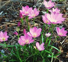 Rain Lilies! They bloom from late April till late July in the Himalayan mountains.