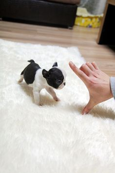 TEACUP PUPPY: ★Teacup puppy for sale★ French bulldog Bianco. MY NEXT BABY FOR SURE