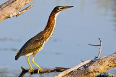 Green Heron  #500px #birds #photography #photos #nature #pinterest
