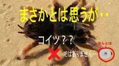 【閲覧注意】虫に食べられっちまう前に!巨大毒クモ紹介I am lucky man カネちゃんのテレビ