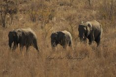 Part of a larger herd, seen walking through the reserve Kruger National Park, African Elephant, Lonely Planet, Elephants, Travel Guide, South Africa, Planets, Larger, Wildlife