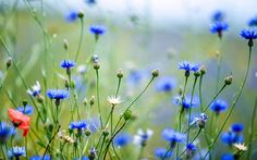 cornflower-meadow-with-poppies   How to grow a wildflower meadow in the garden
