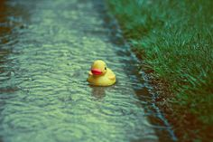 rainy day duck