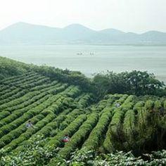 Fields of tea plants!