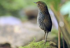 Something adorable about this bird. 鱗胸鷦鷯 Scaly-breasted Wren Babbler by chenwenhua0926, via Flickr
