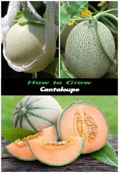 How to Grow Cantaloupe 3