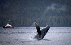 Ottawa removing North Pacific humpback whales from list of 'threatened' species