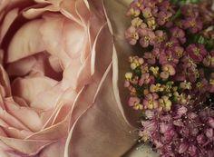 Abraham Darby rosa