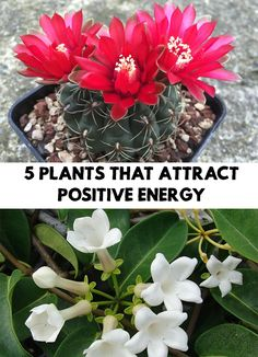 We all use plants to decorate our home, office, and other spaces, in order to refresh their appearance. 5 Plants That Attract Positive Energy!