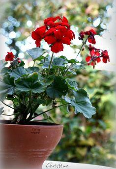 Red geraniums                                                                                                                                                     More