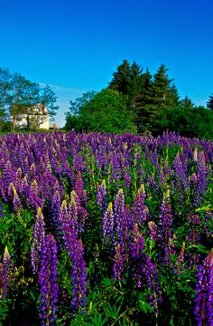 Lupins, near Oyster Bed Bridge, Prince Edward Island, Canada